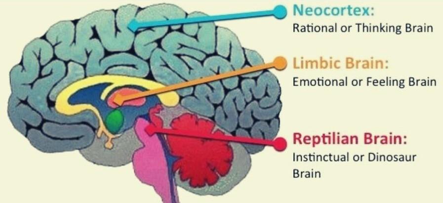 tre-cervelli-primario-relazionale-razionale